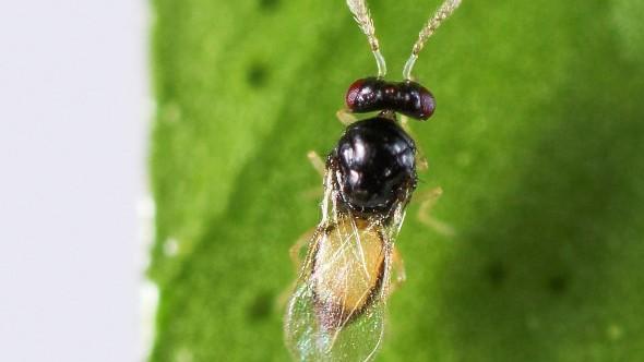Tamarixia radiata is a predatory wasp that attacks the nymphs of Asian citrus psyllid. (Photo credit: CDFA)