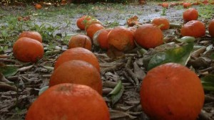 Season's First Slip Seen In Latest Florida Orange Estimate