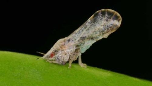 Attention to Citrus Psyllid Control Critical After Hurricane Irma