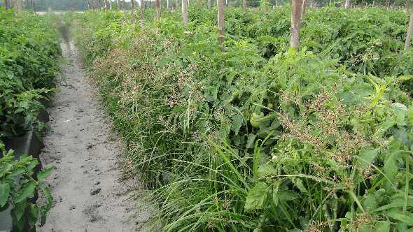 Purple nutsedge on tomato plants