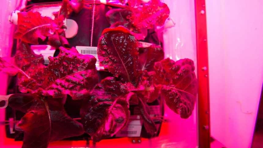 Astronauts Begin Producing Third Lettuce Crop In Space