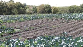 This photo shows garden symphylan damage in a broccoli  field. Photo credit: Shimat Joseph