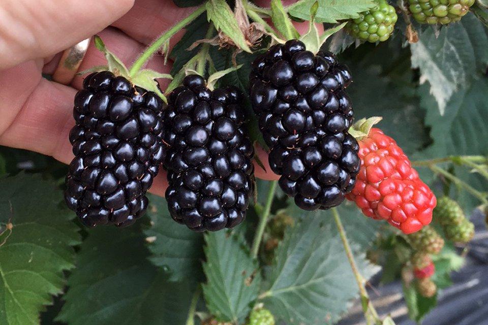 Blackberry 'Prime-Ark Traveler' (AgriStarts)