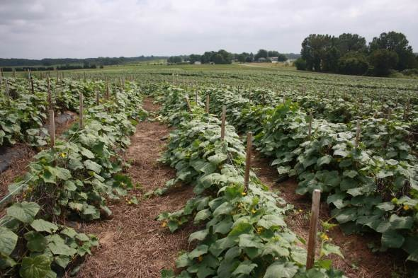 Weed Control in Vegetable Production