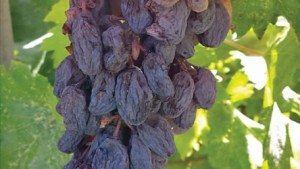 Raisin Industry Continues To Make Push Toward Maximizing Productivity, Minimizing Cost