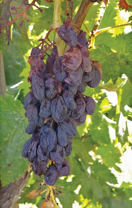 On an unreleased sport of Selma Pete the berries may dry naturally on the vine, without cane severance. (Photo credit: Matthew Fidelibus)