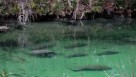 A pod of manatees at Blue Springs State Park In Orange City, FL