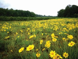 Wildflower planting to support bees on a Michigan blueberry farm. (Photo Credit: Emily May)
