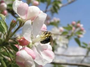 A miner bee on an apple blossom. (Photo Credit: Nancy Adamson)