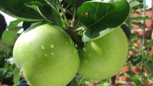 Granny Smith Apples Recalled Due To Possible Contamination