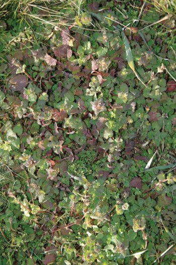 Winter annuals, such as chickweed, henbit, and purple deadnettle, pop up in fall and winter and can be a problem in berry plantings. (Photo credit: Gary Gao)