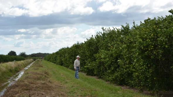 Grower Jonathan Brown of Bethel Farms inspects his citrus grove.
