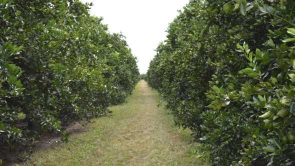 Bethel Farms' citrus grove in Arcadia, FL