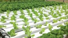 Increased customer demand led Good Harvest Farms to add hydroponic lettuce in 2000.  Photo credit: Nexus Corp.