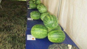 Watermelon Field Day Highlights 26 Varieties