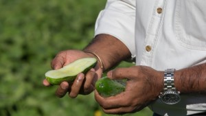 Downy Mildew-Resistant Pickling Cucumber Seed To Be Available In 2016