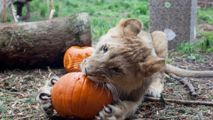 Sakata Donates Pumpkins To Washington Zoo