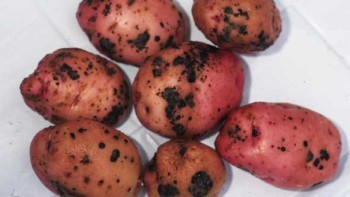 Black scurf and stem canker on a batch of potatoes