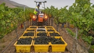 Light But High-Quality California Winegrape Harvest