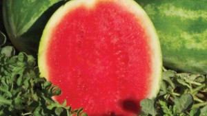 Cut Above watermelon variety