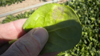 Downy Mildew in Spinach for web