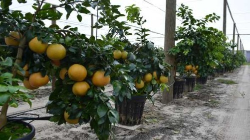 Growers, Scientists Seeking Shelter From Citrus Greening