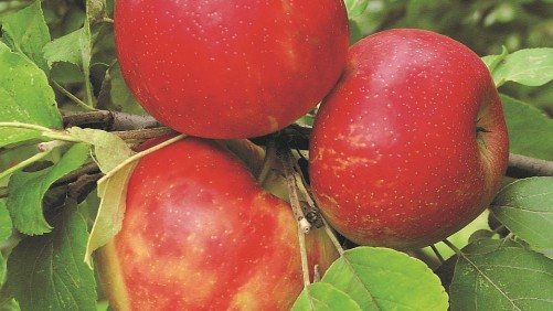 Traditional Varieties Still the Focus of Pome Plantings