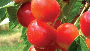 RadiancePearl is a large, blush-type cherry that ripens early, five to seven days before Bing, just after Rynbrandt and Chelan. Cherries average 11 to 11.5 grams at 20.5% sugar with exceptionally good flavor and quality. It shows moderate to good resistance to cracking, good storage qualities, and is medium firm. The tree is hardy, vigorous, spreading, and a heavy producer. An International Plant Management Variety.