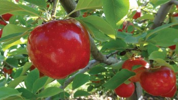 """(L J – 1000 cv.) Royal Red Honeycrisp® is a new blush-type selection of standard Honeycrisp with the same flavor and flesh texture as its popular parent but with better red color. This new selection also seems to have better storage characteristics than standard Honeycrisp. This is one of Van Well Nursery's """"Faces of the Future!"""" USPP#22,244."""