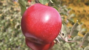 JonaStar is an exciting new Jonagold sport with virtually 100% red color weeks before maturity. JonaStar is a true Jonagold with the quality, taste, and size of typical Jonagold. JonaStar finishes with a nice subtle stripe over a bright red background. USPP#20,590.