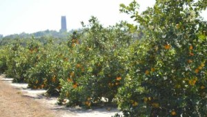 HLB-Induced Urgency Spurs Release Of New Citrus Rootstock