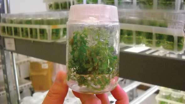 Citrus tissue culture sample