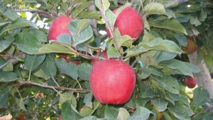 Cameron Select® Honeycrisp is a new REDDER selection of Honeycrisp®. Originated from Cameron Nursery. An exceptionally crisp and juicy apple with mild, sweet flavor. Excellent for direct market. Annual bearer. Winter hardy.