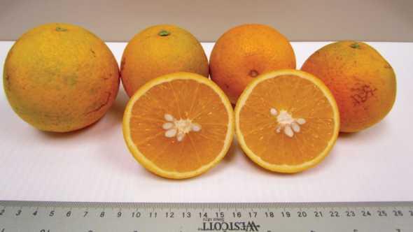 Florida EV2 hybrid Valencia oranges