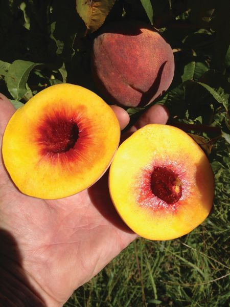 Some late-season varieties can develop fibrous flesh around the pit. (Photo credit: Bill Shane)