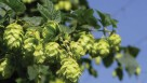 closeup of a hops plant