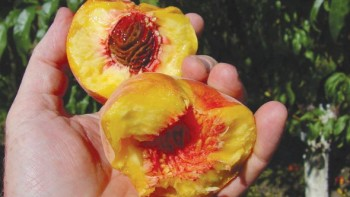 Some peach varieties have ragged-textured flesh when picked very ripe and when canned. (Photo credit: Bill Shane)