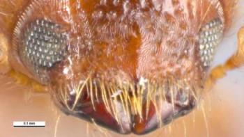Extreme closeup of invasive wood-boring insect Xyleborus volvulus
