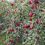 Cosmis Crisp apples planting FEATURE