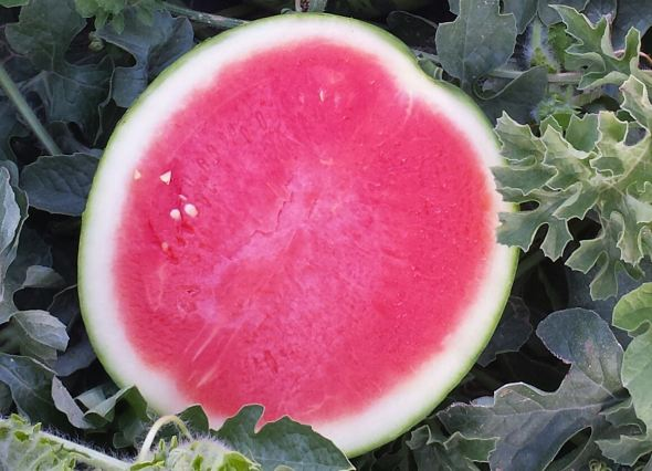 Trending Now: Mini Seedless Watermelons