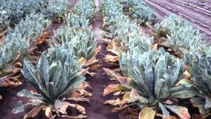 Fine-Tune Your Brassica Nutrition Program