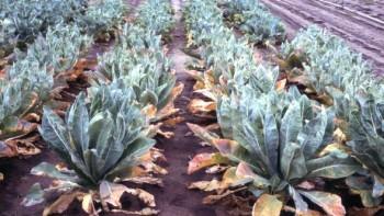 This field of cauliflower is deficient in nitrogen. Photo credit: