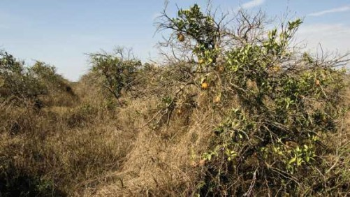 Let's Lay Waste To Florida's Abandoned Citrus Groves