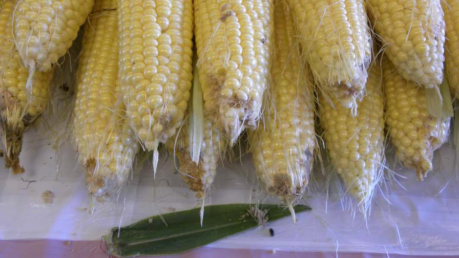 Trying to spot corn earworm eggs on silks can be a practice in futility. Photo by Richard Weinzierl