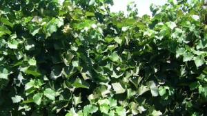Researchers Test New Method To Mitigate Vine Heat Stress