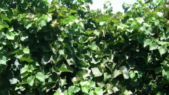 The canopy of the vines that received the under-canopy sprinkler irrigation just on hot nights during heatwaves appear to be healthier than the control vines and have a higher yield. Photo: Michael McCarthy