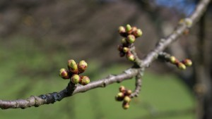 Some Fruit Bud Damage Seen In Northeast; Still Too Soon To Worry
