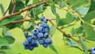 Almost everybody favors sweet blueberries, but poor texture was the most mentioned turnoff, according to a University of Florida study.
