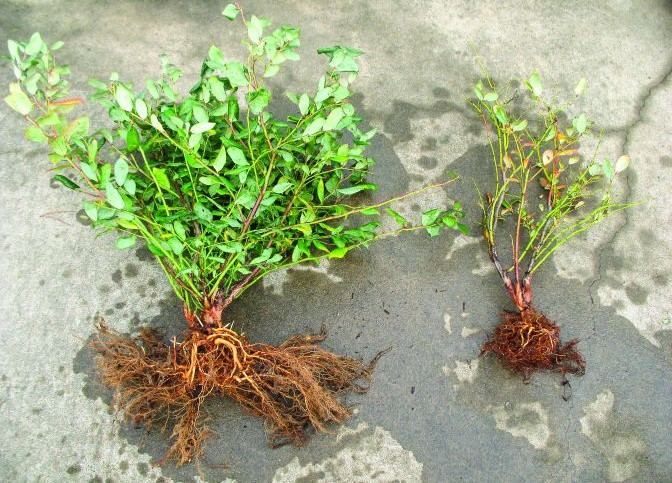 Fighting Phytophthora In Blueberries