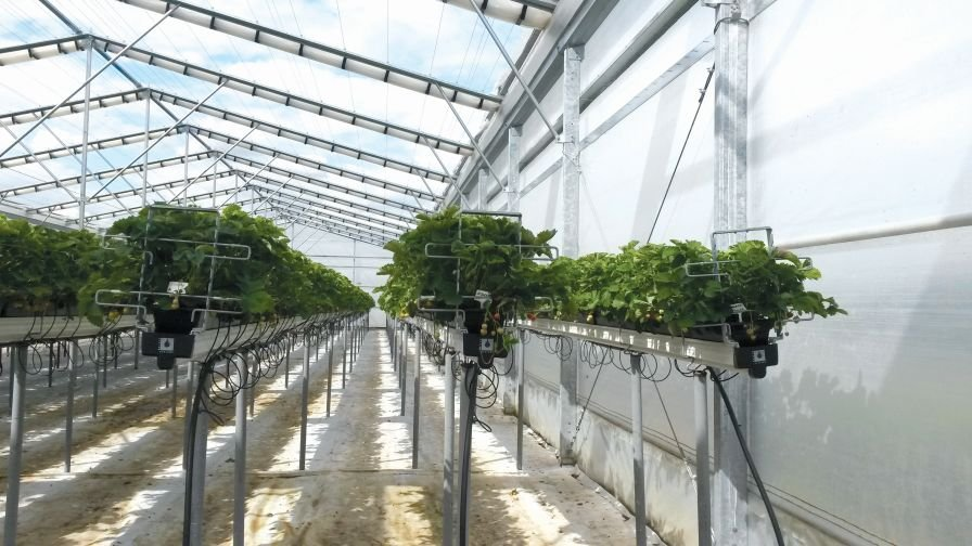 Strawberry Greenhouse Wins Sustainability Award Growing